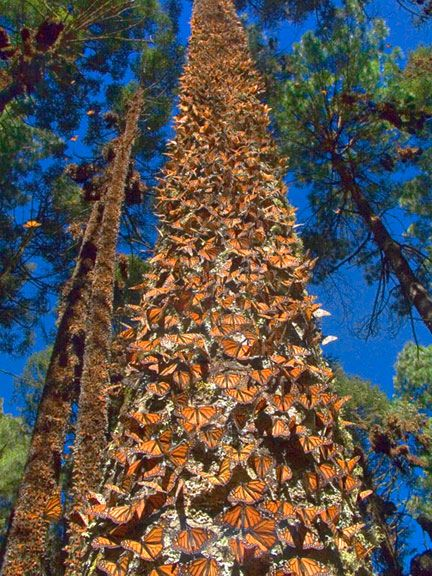 Monarch butterfly migration tree - photo#1